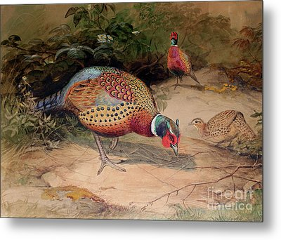 Ring Necked Pheasant Metal Print by Joseph Wolf