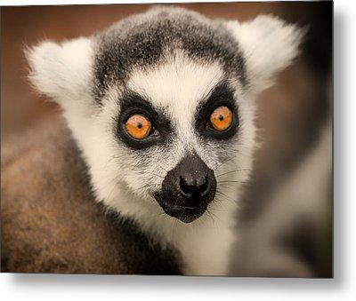 Metal Print featuring the photograph Ring Tailed Lemur Portrait by Chris Boulton