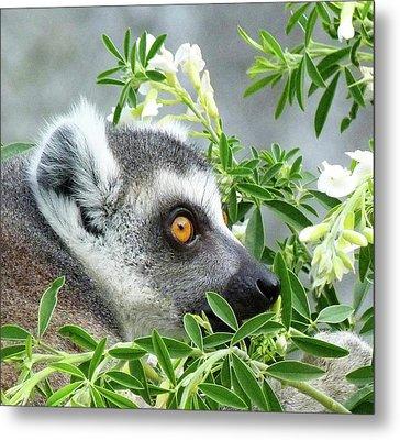 Ring-tailed Lemur Watching His Group  Metal Print