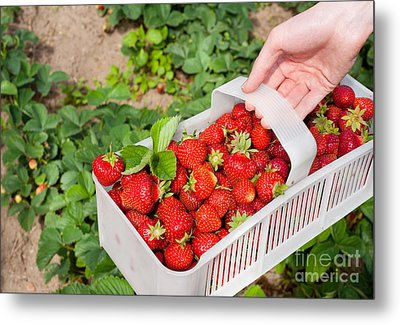 Ripe Strawberries Picked To White Plastic Punnet  Metal Print by Arletta Cwalina