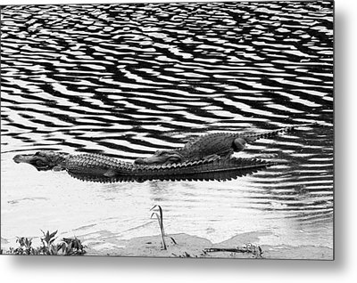 Metal Print featuring the photograph Ripped Aligators by Farol Tomson