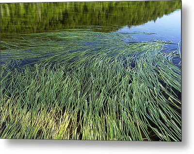 River Reeds Metal Print by Tom  Wray