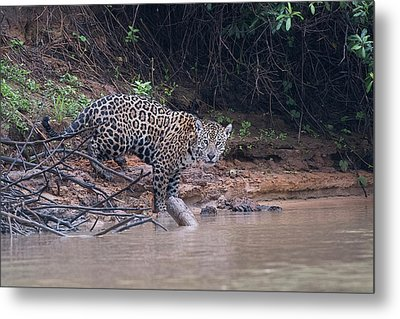 Metal Print featuring the photograph Riverbank Jaguar by Wade Aiken