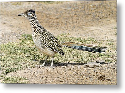 Roadrunner Metal Print by Gregory Scott