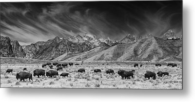 Roaming Bison In Black And White Metal Print by Mark Kiver