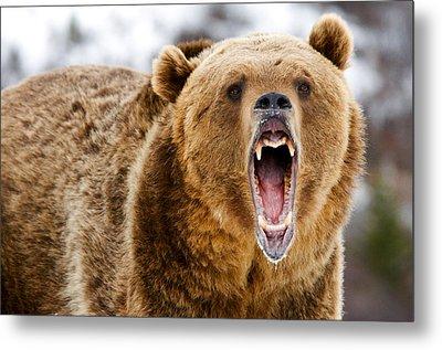 Roaring Grizzly Bear Metal Print