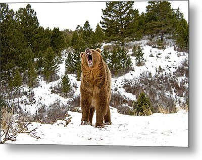 Roaring Grizzly In Winter Metal Print