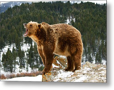 Roaring Grizzly On Rock Metal Print