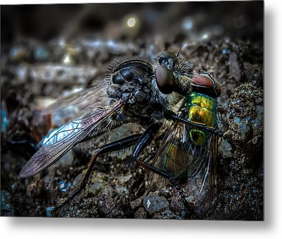 Robber Fly Eating Green Bottle Fly Metal Print by Bob Orsillo