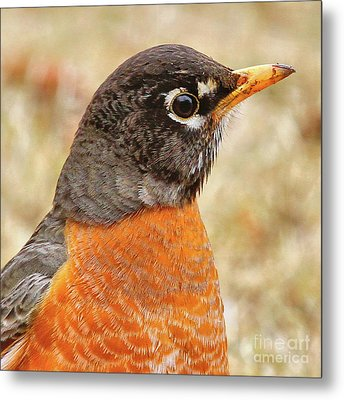 Metal Print featuring the photograph Robin by Debbie Stahre