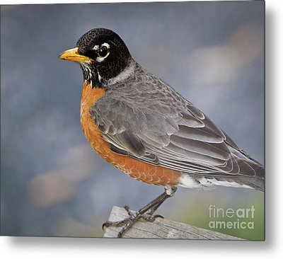 Metal Print featuring the photograph Robin by Douglas Stucky