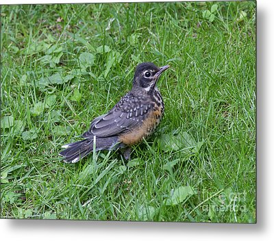 Metal Print featuring the photograph Robin Fledgling by Chris Scroggins