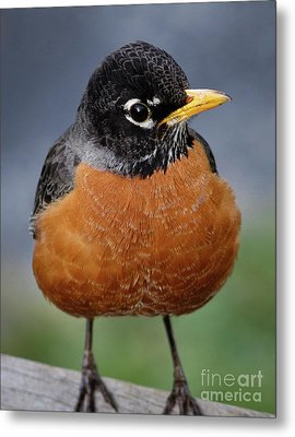 Metal Print featuring the photograph Robin II by Douglas Stucky