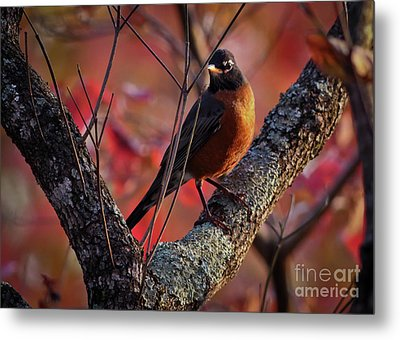 Metal Print featuring the photograph Robin In The Dogwood by Douglas Stucky