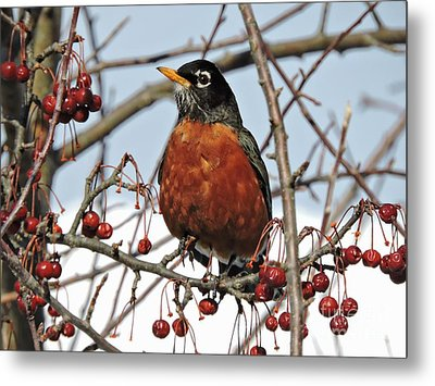 Robin In Winter Metal Print by Marcia Lee Jones