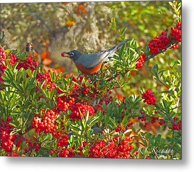 Robins Berry Feast Metal Print by K L Kingston