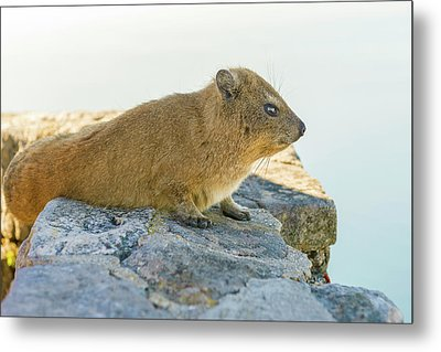 Rock Hyrax On Table Mountain Cape Town South Africa Metal Print