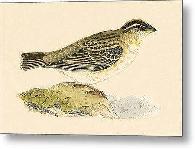 Rock Sparrow Metal Print by English School