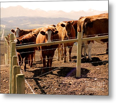 Rockies Cattle Country Metal Print by Al Bourassa