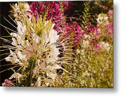 Rocky Mountain Bee Plant Metal Print by Beth Collins
