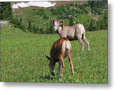 Rocky Mountain Bighorn Sheep Ram And Mule Deer Doe Glacier National Park Mt Metal Print by Christine Till