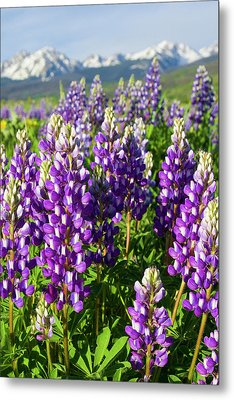 Rocky Mountain Lupines  Metal Print by Aaron Spong