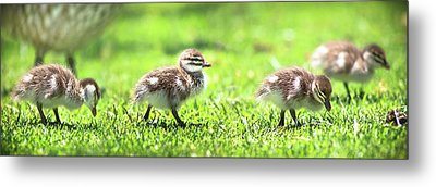 Rogue Duckling, Yanchep National Park Metal Print by Dave Catley