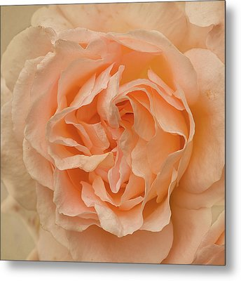 Romantic Rose Metal Print by Jacqi Elmslie