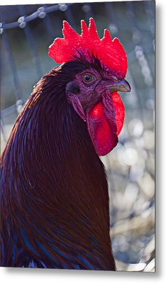 Rooster With Bright Red Comb Metal Print by Garry Gay