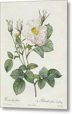 Rosa Alba Foliacea Metal Print by Pierre Joseph Redoute
