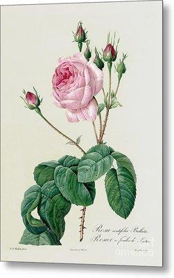 Rosa Centifolia Bullata Metal Print by Pierre Joseph Redoute