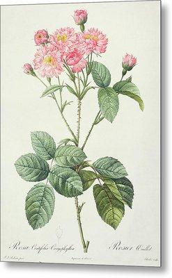 Rosa Centifolia Caryophyllea Metal Print by Pierre Joseph Redoute