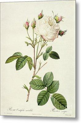 Rosa Centifolia Mutabilis Metal Print
