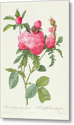 Rosa Centifolia Prolifera Foliacea Metal Print by Pierre Joseph Redoute