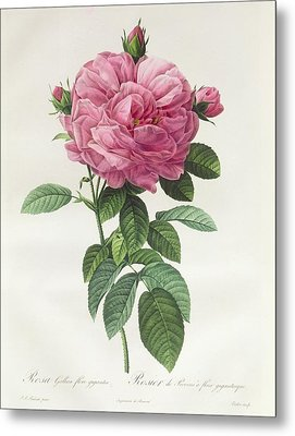 Rosa Gallica Flore Giganteo Metal Print by Pierre Joseph Redoute