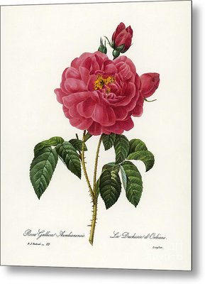 Rosa Gallica Metal Print by Granger