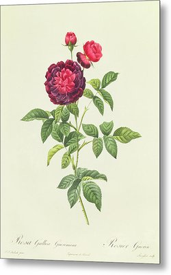 Rosa Gallica Gueriniana Metal Print by Pierre Joseph Redoute