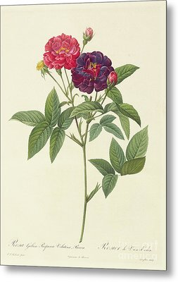 Rosa Gallica Purpurea Velutina Metal Print by Pierre Joseph Redoute