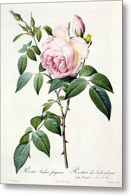 Rosa Indica Fragrans Metal Print by Pierre Joseph Redoute