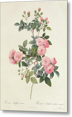 Rosa Multiflora Carnea Metal Print by Pierre Joseph Redoute