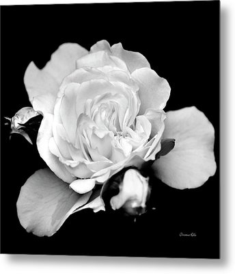 Metal Print featuring the photograph Rose Black And White by Christina Rollo