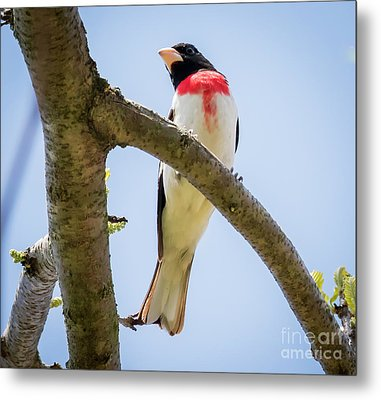 Metal Print featuring the photograph Rose-breasted Grosbeak Looking At You by Ricky L Jones