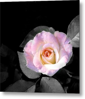 Rose Emergance Metal Print