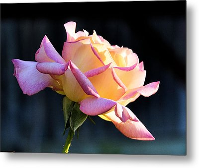 Rose In Sunshine Metal Print