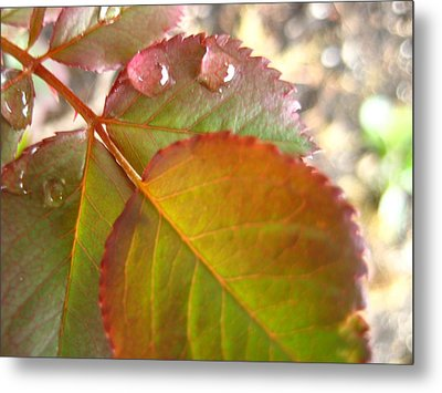 Rose Leaves Metal Print by Shirley Sirois