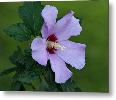 Rose Of Sharon Metal Print by Sandy Keeton