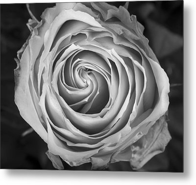 Rose Spiral Black And White Metal Print by James BO  Insogna