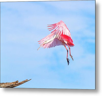 Roseate Spoonbill Final Approach Metal Print by Mark Andrew Thomas