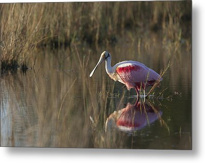 Roseate Spoonbill In Morning Light Metal Print
