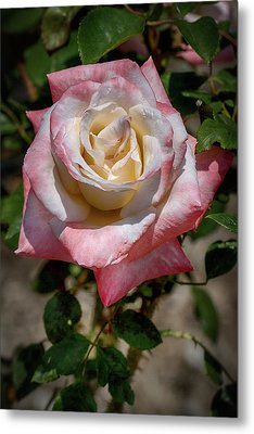 Roses Are Red And White And Yellow Metal Print by John Haldane